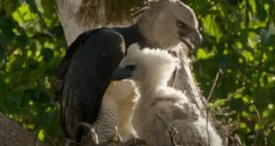 Elang Harpy